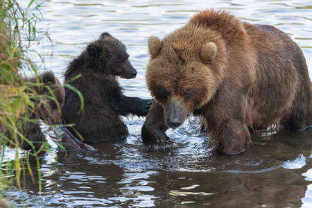 Mother Kamchatka brown bear with two bear cubs fishing red salmon fish during fish spawning in river. Wild predators in natural habitat. Kamchatka Peninsula, Russian Far East, Eurasia