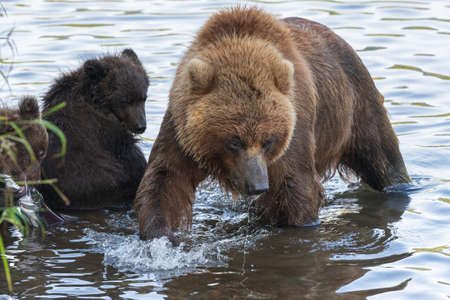 Huge mother Kamchatka brown bear with two bear cubs fishing red salmon fish during spawning in river. Wild animals in natural habitat. Kamchatka Peninsula, Russian Far East, Eurasia