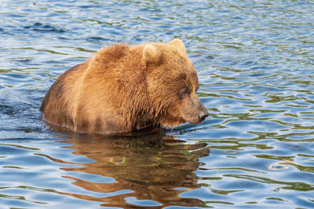 Hungry Kamchatka brown bear standing in river, looking in water in search of food red salmon fish. Animal in natural habitat. Wild beast fishing during spawning. Russian Far East, Kamchatka Peninsula Stockfoto