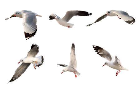 Collection of flying sea gulls, Isolated on white background.