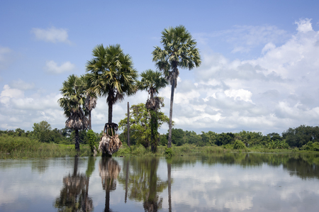 toddy palm: toddy palm in lagoon Stock Photo