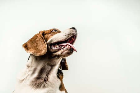 bewitchment: Beagle dog puppy