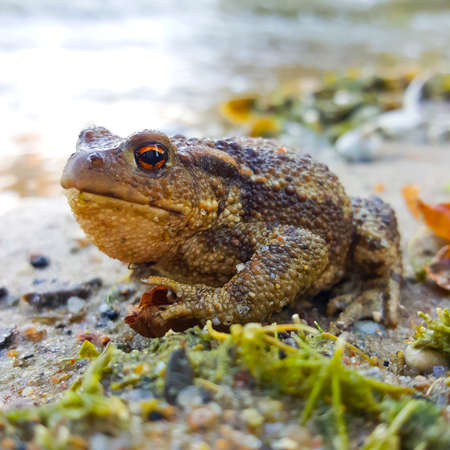 Big toad sitting on the edge of pond Stock Photo
