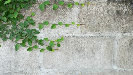 Climbing plant on concrete wall