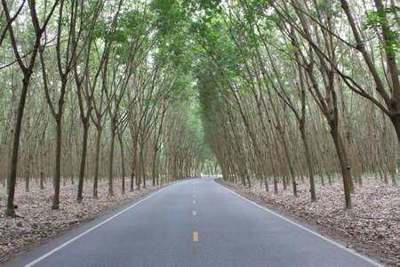rubber tree and Rubber plantation