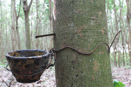 Latex Rubber plantation on rubber tree