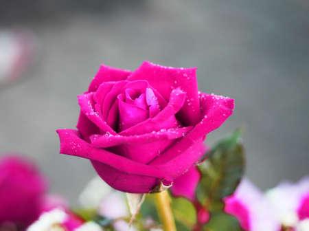 addressee: purple roses flower Stock Photo