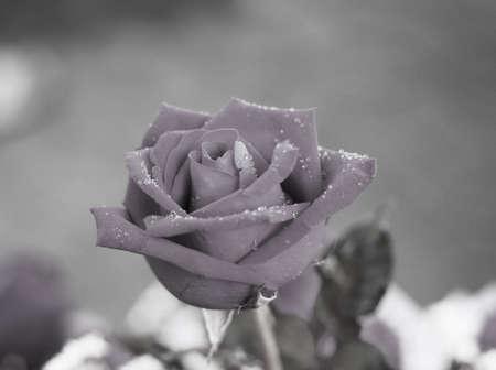 black rose flower Stock Photo - 14871515