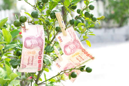 100 baht thai money on tree lemon Stock Photo - 16562279