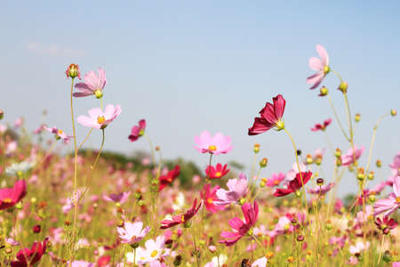 Flower field with blue sky Stock Photo