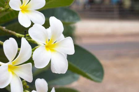 flower in garden frangipani