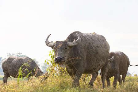 Buffalo in field thailand
