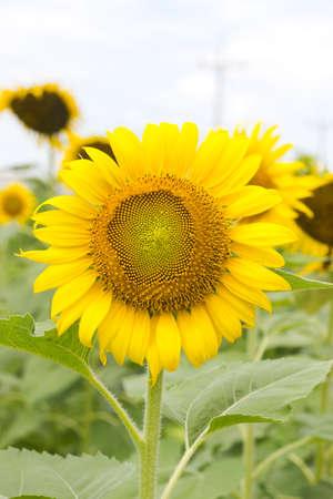 Close-up of sun flower Stock Photo