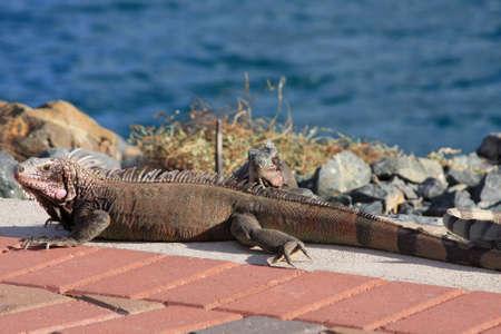 iguana: Sea Iguana Stock Photo