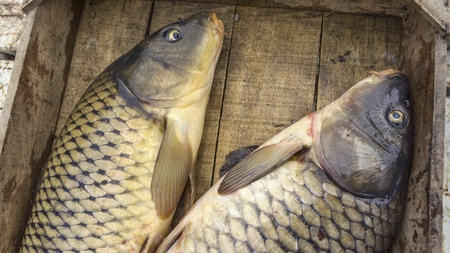 fished: fresh fishes Cyprinus, just fished, in a wooden crate