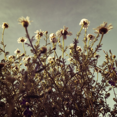 Beautiful fresh chamomile meadow sunrise light vintage style photo