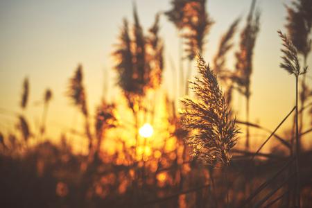 common reed: Common reed (phragmites) on sunset