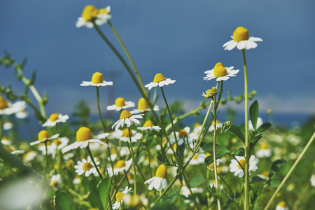 daisys: White daisies on blue sky background Stock Photo