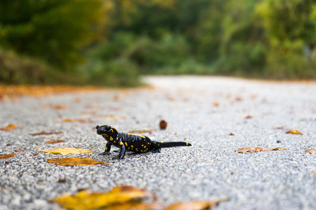 Fire salamander in the nature