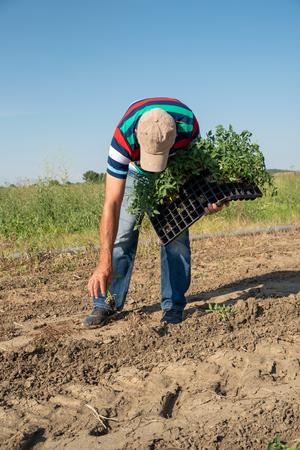 Man farmer planting young tomatoes plants