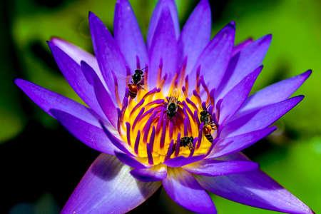 beauty lotus photo