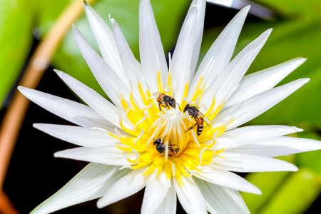 white lotus & Bee photo