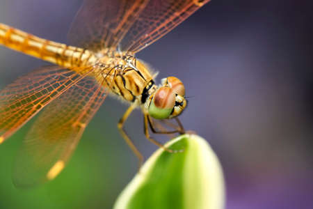 Dragonflies are beautiful creatures, and there are many strains. photo