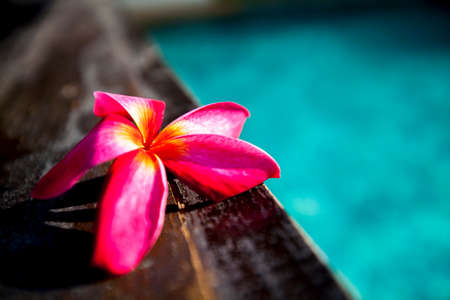 Plumeria flowers are very popular in Thailand and hotels are often planted near a swimming pool. photo