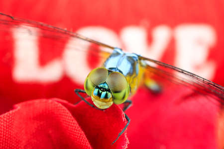 animal vein: Single Blue dragonfly on red background