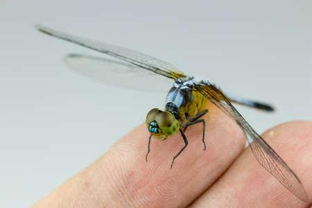 animal vein: Single Blue dragonfly on my  finger