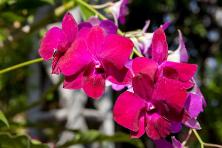 fuchsia color: Beautiful fuchsia color orchid in the greenhouse.Photo taken on: January 04th, 2015