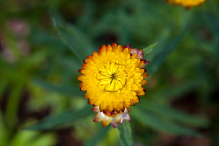 The Immortelles flower helichrysum in the garden.Photo taken on: January 04th, 2015 photo