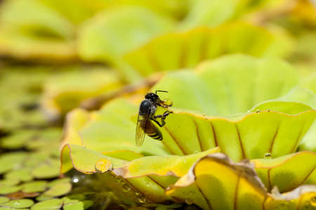 floating on water: Green floating water lettuce, Pistia stratiotes and bee Stock Photo