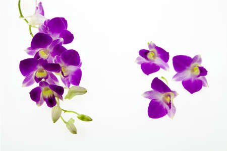 rare purple orchid isolated on white background photo