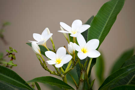 blanch: White frangipani flowers on blanch and blurry background