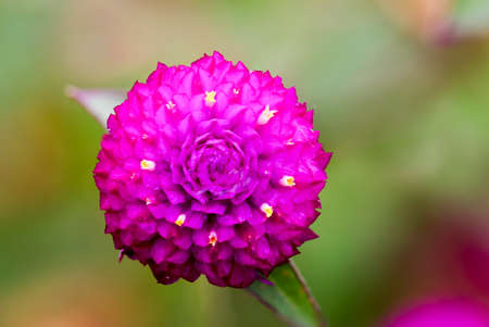 globosa: Globe Amaranth or Bachelor Button close up on green background,shot in nature