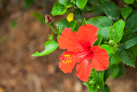 bush to grow up: Shoe  Flower ,Chinese Rose or  Hibiscus flowers on the branch was taken in nature.