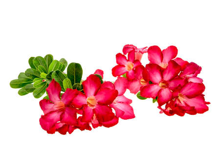 mock azalea: Close-up Impala Lily or  desert rose or Mock Azalea isolate on white background