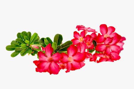 obesum balf adenium: Close-up Impala Lily or  desert rose or Mock Azalea isolate on white background