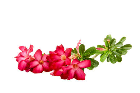 adenium obesum balf: Close-up Impala Lily or  desert rose or Mock Azalea isolate on white background