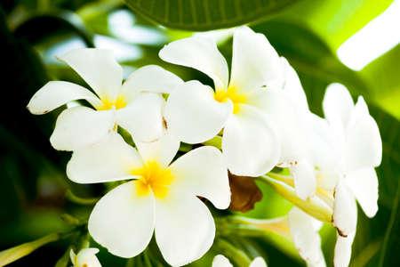 champa flower: White And Yellow Frangipani Flowers With Leaves In Background Stock Photo