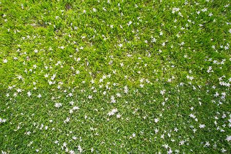 多くの白い小さな花が草のテクスチャの平面図 写真素材