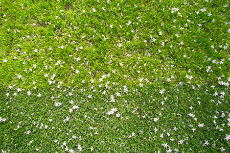 bove: Many white small flowers in top view of grass texture