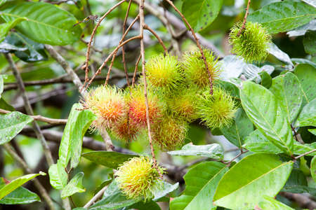 with ease: Rambutan on tree in Ease of Thailand.