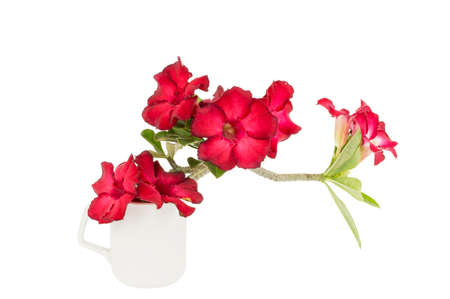asterids: group of red azalea flowers on a isolate white background.