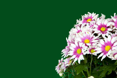 咲く、美しい菊の花のクローズ アップ 写真素材