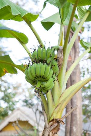 バナナの木の緑のバナナの房