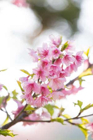 さくら桜の花クローズ アップ