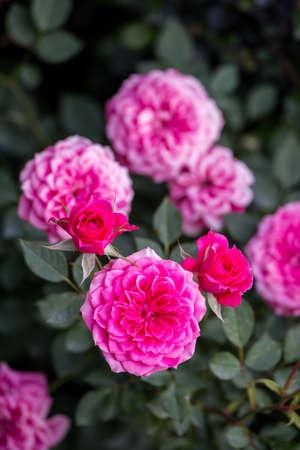 夏の日に庭でバラの花。