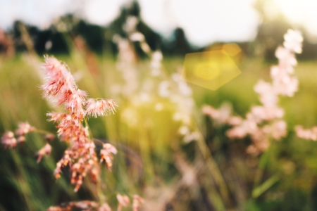 The grass is pink in the middle of the meadow with the sun shining through and the background blurred.